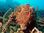 Brown Frogfish