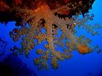 Beqa Soft Coral