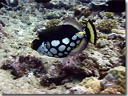 The Clown Triggerfish with its characteristic colour pattern is not easily mistaken for any other fish, Palau, Micronesia