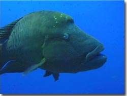 An extremely friendly Napoleon Wrasse, Palau, Micronesia