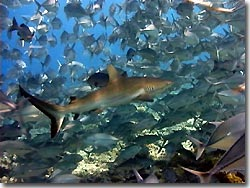 Grey Reefshark amidst a school of trevallies, Palau, Micronesia