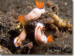 A trio of colourful nudibranch, Lembeh Strait, Sulawesi, Indonesia.