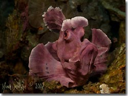 The beautiful purple resident Rhinopias, Lembeh Strait, Sulawesi, Indonesia.