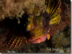 The Yellow Scorpionfish is another beautiful critter that can be found at Lembeh Strait, Sulawesi, Indonesia.