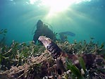 Collared Catshark and Diver