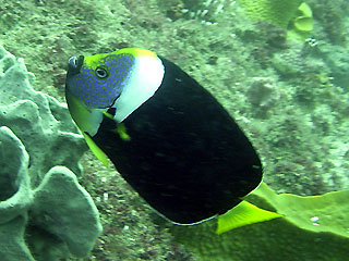 Yellow-finned Angelfish