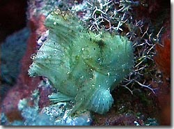A Leafy Scorpionfish trying to look inconspicuous, Yap, Micronesia.