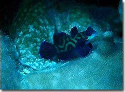 A male Mandarinfish chasing the females, Yap, Micronesia.