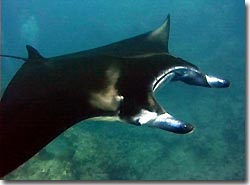 The Manta Rays did make an appearance, Yap, Micronesia.