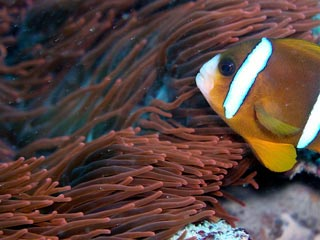 Awesome Anemone and Clownfish