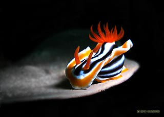 Larry Medenilla with a incredibly lit Chromodoris at Anilao, Philippines.