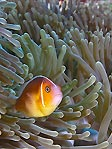 Rowley Anemonefish