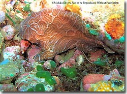 A potentially new species of frogfish, found at Ambon Bay, Ambon