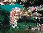 Busselton Cuttlefish