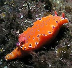 Longtailed Nudibranch