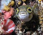 Busselton Porcupinefish