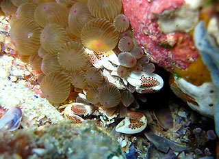 Anemone Crab with a buddy