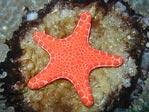 Bisquit Starfish