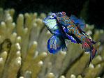 Mandarin Fish Mating