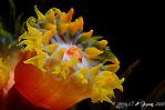Tulip of the Sea