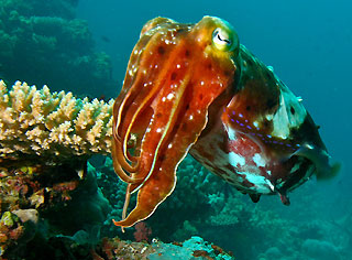Cuttlefish on the reef