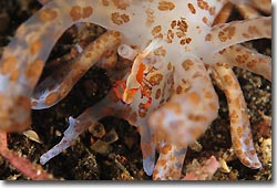 An Imperial Shrimp scavenging on a solar-powered nudibranch, Phylodesmiums, Lembeh Strait, Sulawesi, Indonesia
