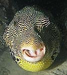 Yummmy fugu