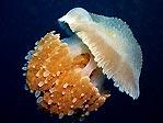Timor Jellyfish
