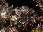 Baby Scorpionfish