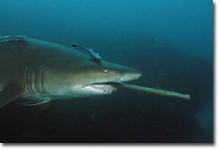 A female Grey Nurse Shark swimming around with a gaff down its throat. Julian Rock, Australia.