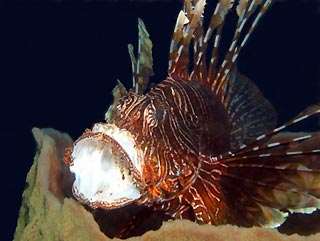 Tired Lionfish
