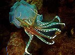 Colourful Cuttle