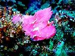 Pink Leaf Scorpionfish