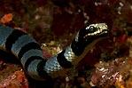 Sea Cobra No III