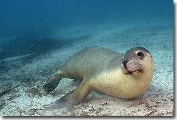 Australian Sea Lions - what a buzz!Hopkins Island,South Australia