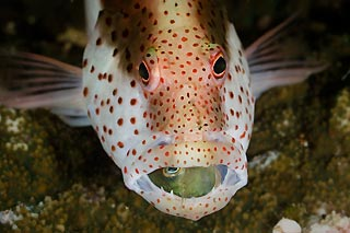 Forster's Hawkfish and Bi-colour Blenny