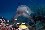 Kalimantan Cuttlefish