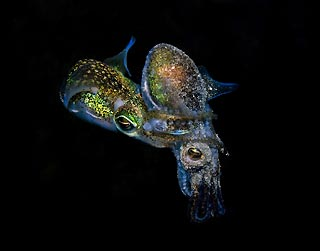 Mating Dumpling Squid
