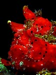 Flaming Red Frogfish