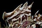 Zebra Crab with Eggs