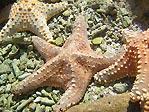 Fiji Sea Stars