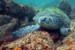 Julian Rocks green sea turtle