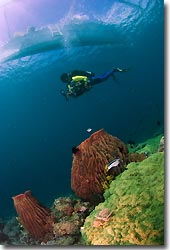 Pristine reefs with Barrel Sponges,  Anilao, Philippines