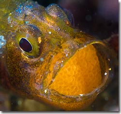 A brooding cardinalfish, Anilao, Philippines