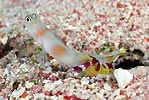 Goby and Shrimp