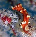 Pygmy Seahorse watching