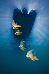 Batfish Under the Boat