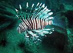 Bida Lionfish