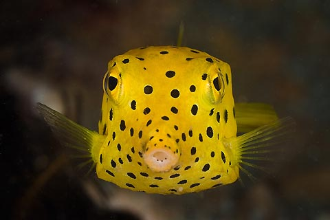 Yellow Spotted Boxfish