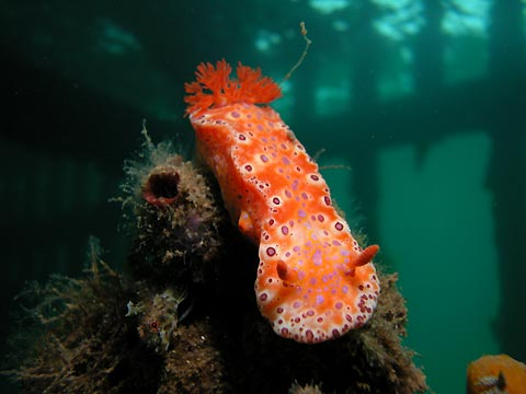 Giant Nudibranch